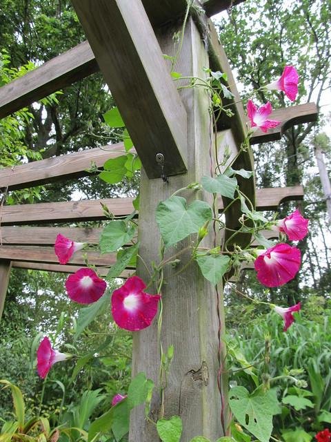 40 graines ipom e volubilis fleur rose ipomoea pink morning glory seeds ebay. Black Bedroom Furniture Sets. Home Design Ideas
