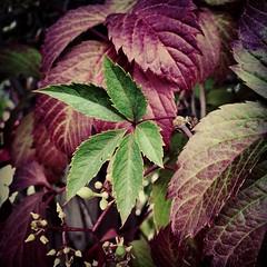 annual plant, flower, leaf, purple, plant, lilac, herb, flora, perilla,