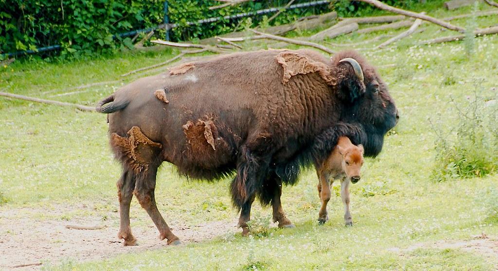 Bison (Bison bison (Bison bison (Bison bison (Bison bison))))_3