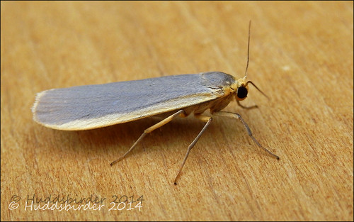 Common Footman (2050)