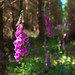 Small photo of Foxgloves, Crone Wood