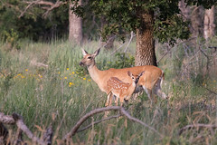 Doe and Fawn 7-12-14