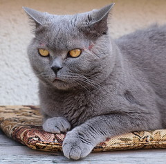 animal, british shorthair, small to medium-sized cats, pet, european shorthair, fauna, chartreux, cat, korat, burmese, carnivoran, whiskers, russian blue, domestic short-haired cat,