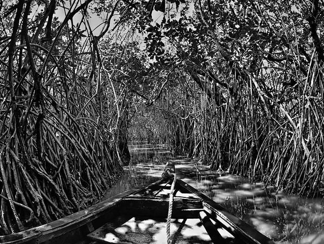 Mangrove Forest, Pichavaram