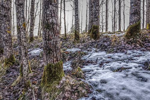forest trees green aspen spring april sunny snow raahe finland lasikangas ylipää nature landscape
