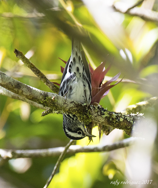 Reinita Trepadora-Black and White Warbler-Mniotilta varia