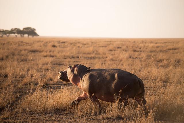 Running - Serengeti Hippo