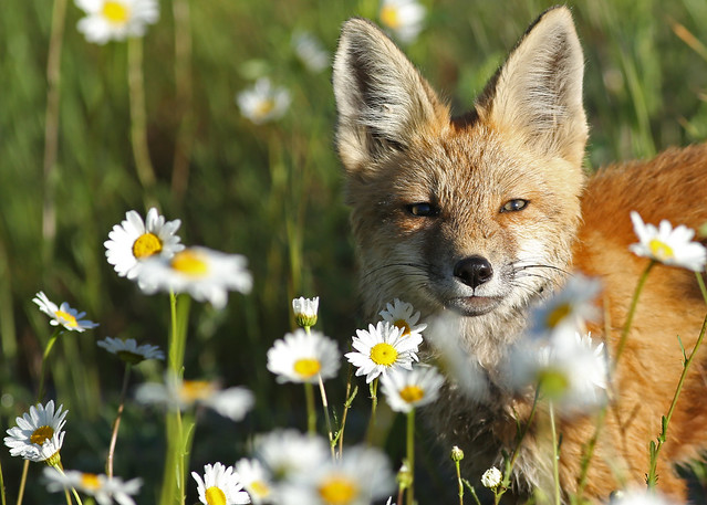 Red Fox pup...#11, Canon EOS 5D MARK III, EF400mm f/5.6L USM