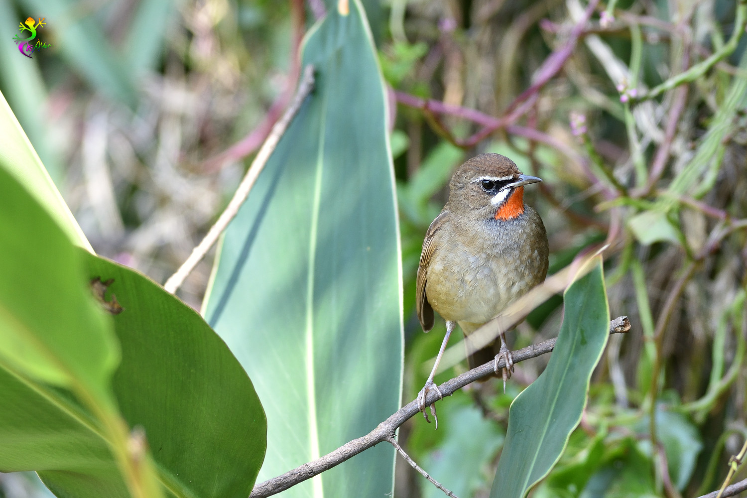 Rubythroat_8383