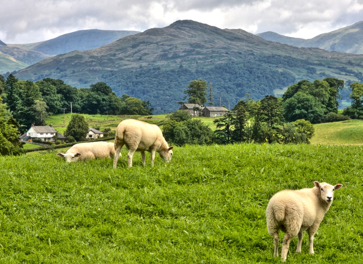 Sheep and mountains near Hawkshead, Lake District. Credit Anne Roberts, flickr