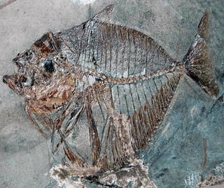 Mene rhombea (fossil fish) (Middle Eocene; Italy) 1