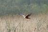 Eurasian Marsh-Harrier, Leighton Moss, Lancashire, England
