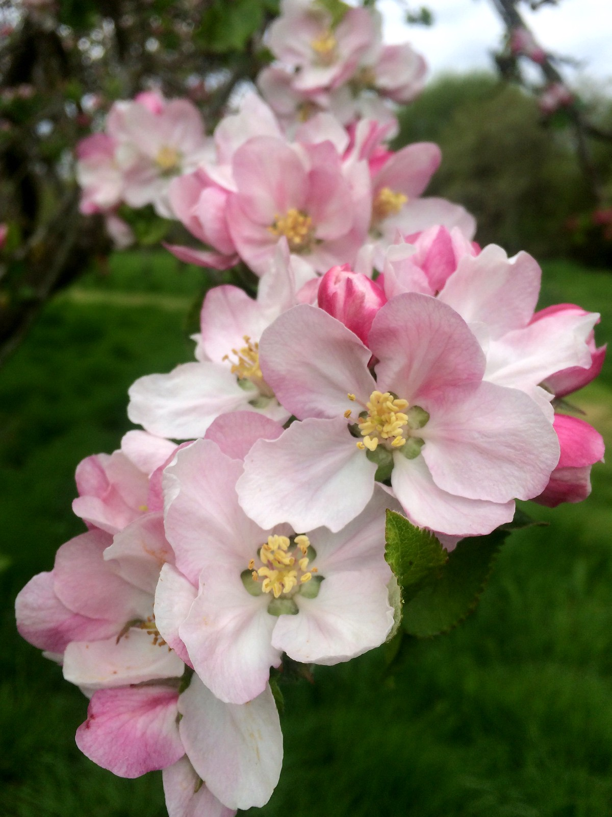 April 17, 2017: Uckfield to Lewes Apple tree blossom