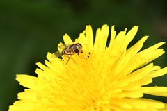 Dandelion with insect - Photo of Husson