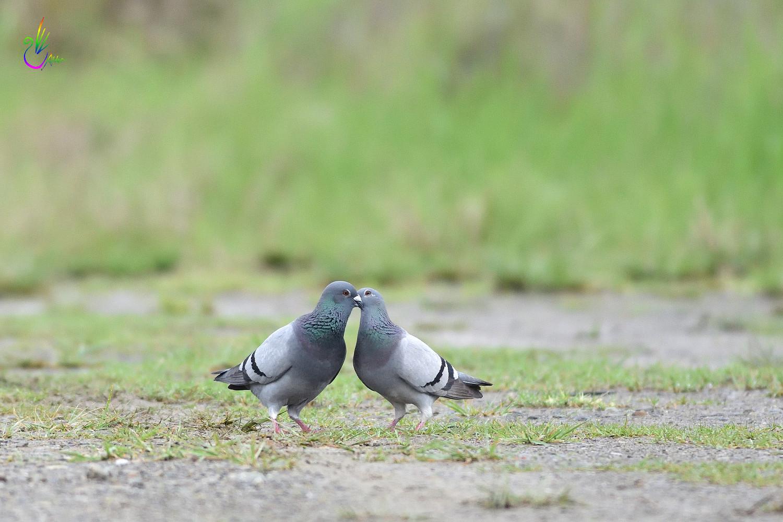 Pigeon_1878