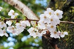 blossom, flower, branch, macro photography, flora, cherry blossom, spring,