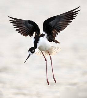 Black Neck Stilt in flight