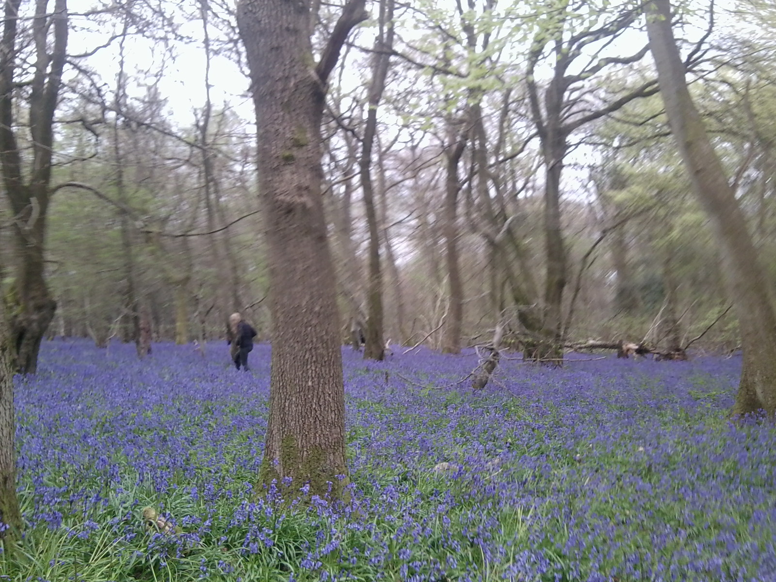 Old Simms Copse- Bluebells 4 Gomshall to Westhumble