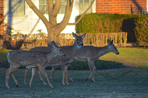 Deer in Neighbor's Front Yard