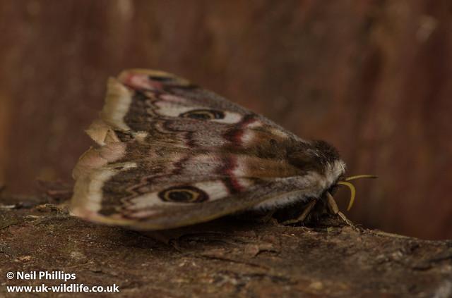female emperor moth-4