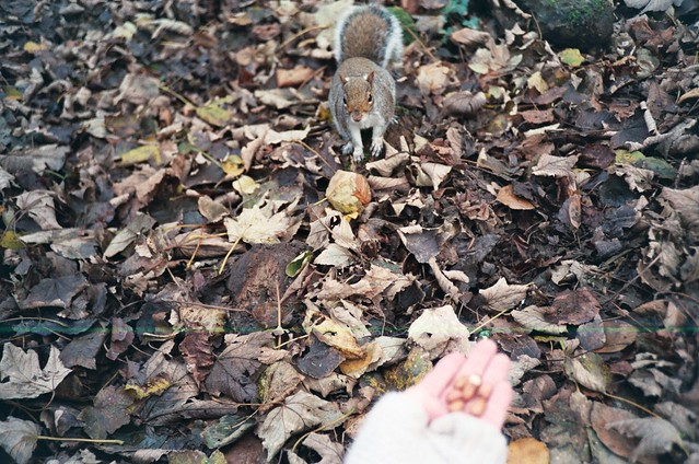 Squirrel eating nuts @ Tehidy Woods