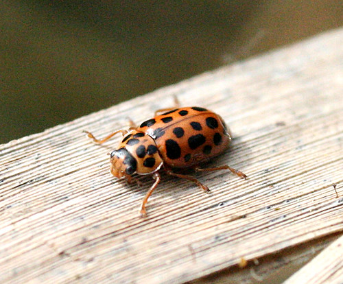 Water Ladybird Anisosticta novemdecimpunctata Tophill Low NR, East Yorkshire May 2014