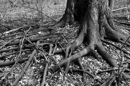 bw tree blackwhite spring nikon noiretblanc roots arbre printemps racines 2014 ahuntsic d90 montréal nikkor1735mm nikond90 aperture3 parcduboiséstsulpice