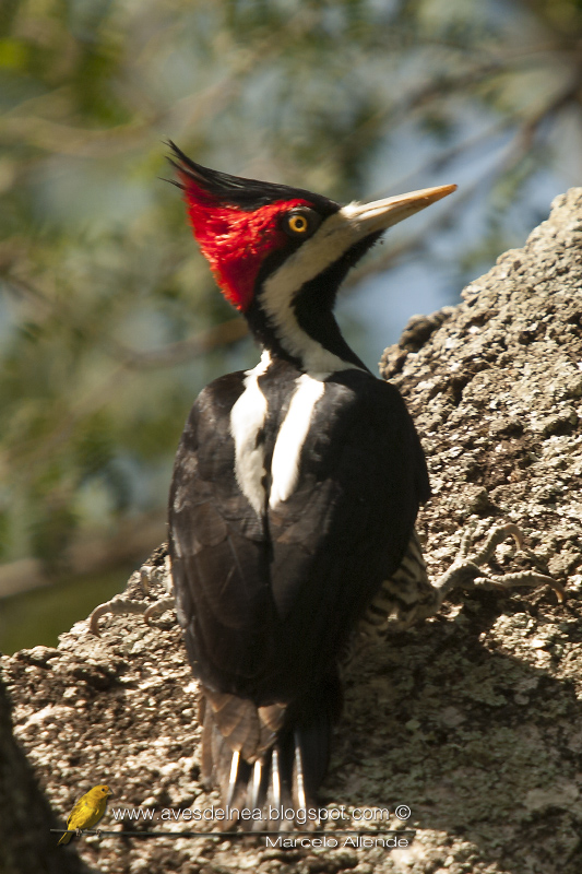 Carpintero garganta negra (Crimson-crested Woodpecker) Campephilus melanoleucos