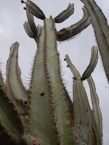 Pilosocereus catingicola