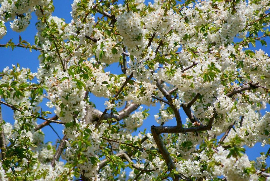 Extremadura-Valle del Jerte-Cerezo en Flor (5)