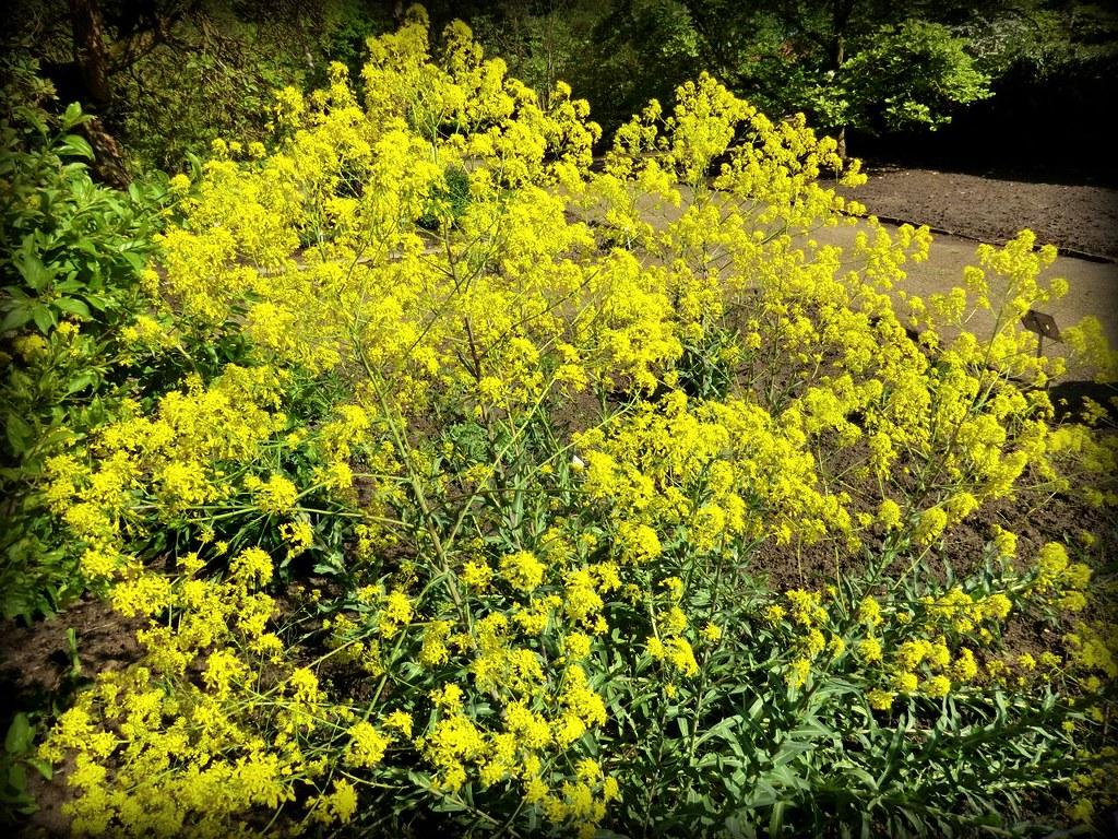 Isatis Tinctoria Botanischer Garten #Bremen  Rhododendron Park