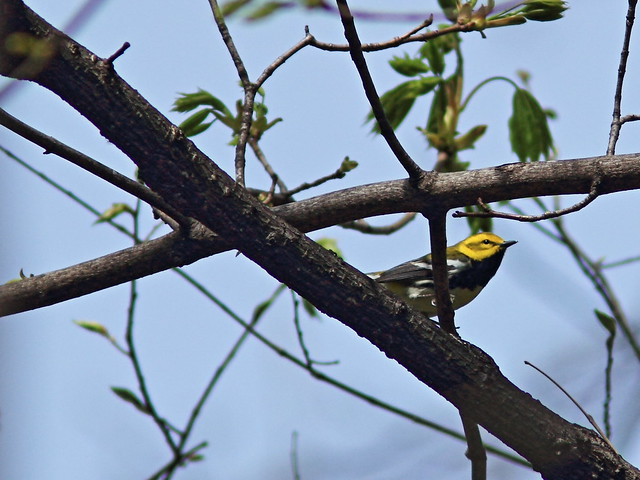 Black-throated Green Warbler 6-20140506