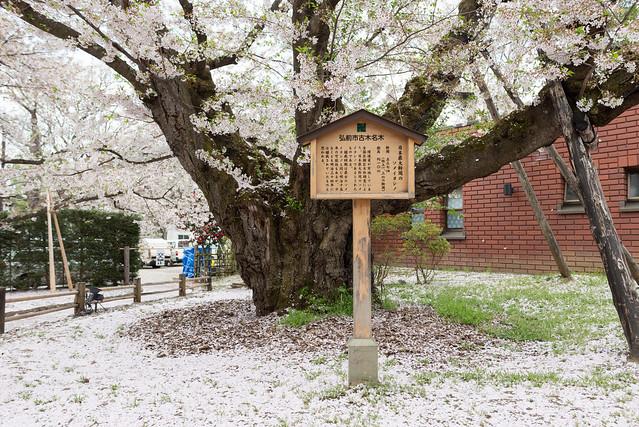 弘前公園 日本最大幹周のソメイヨシノ