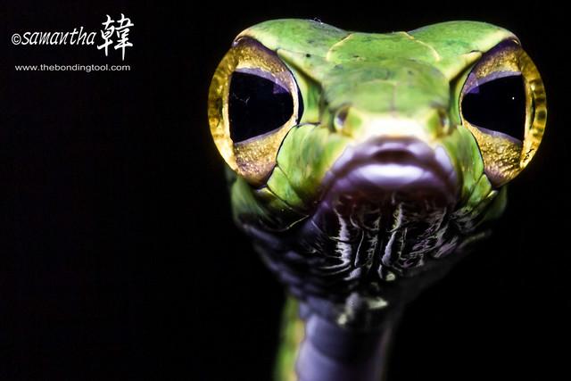 Malayan Whip Snake (Green)