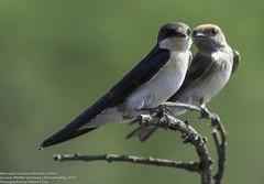 animal, branch, wing, fauna, close-up, swallow, beak, bird, wildlife,