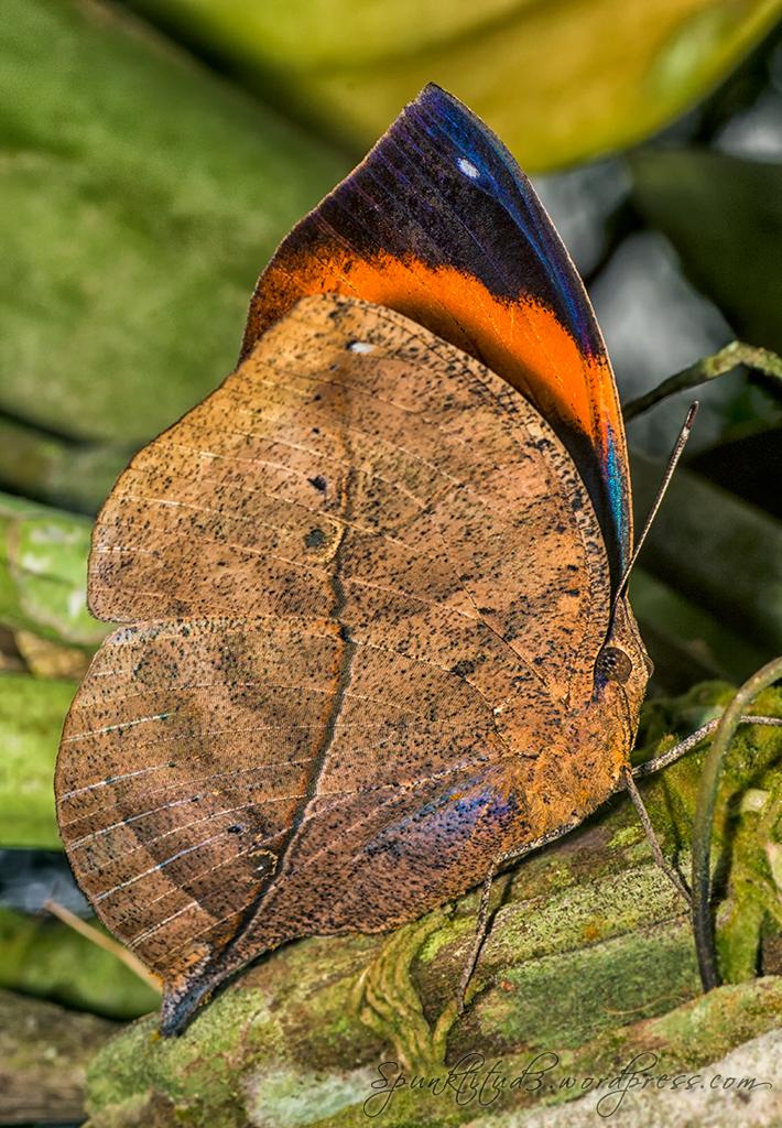 Orange Oakleaf / Dead Leaf (Kallima inachus)