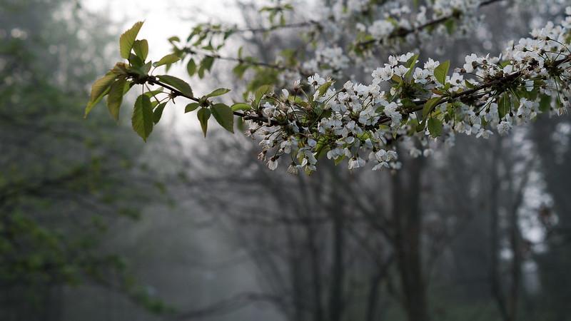 Misty blossom