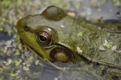 Frog Pond No. 1