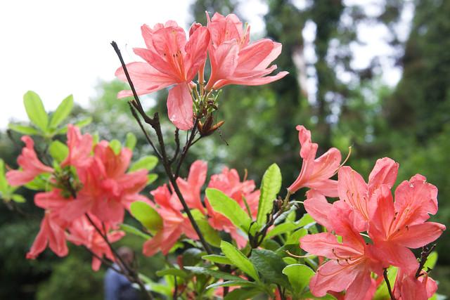 red rhododendron. Lviv botanic garden. Ukraine