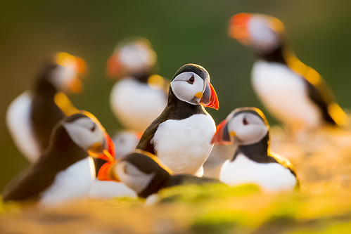 Puffins Skomer Island - Wales 2014