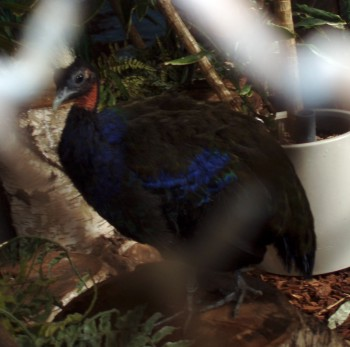 Afropavo congensis 14284515138_1bc44a948f_o