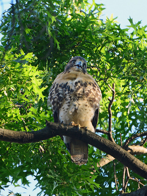 Cathedral Hawk Fledgling - 2998