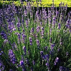 hyssopus(0.0), lavandula stoechas(0.0), herb(0.0), annual plant(1.0), lavandula dentata(1.0), flower(1.0), english lavender(1.0), plant(1.0), lavender(1.0), lavender(1.0), wildflower(1.0), meadow(1.0),