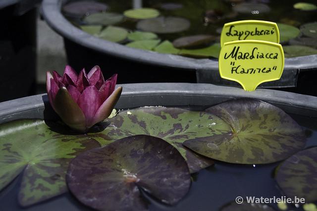 Waterlelie Marliacea Flammea / Nymphaea Marliacea Flammea