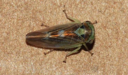 Populicerus populi 31029