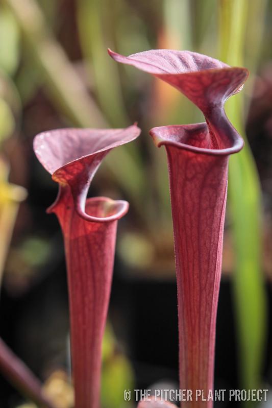 Sarracenia flava var. autropurpurea - Blackwater State Park, FL