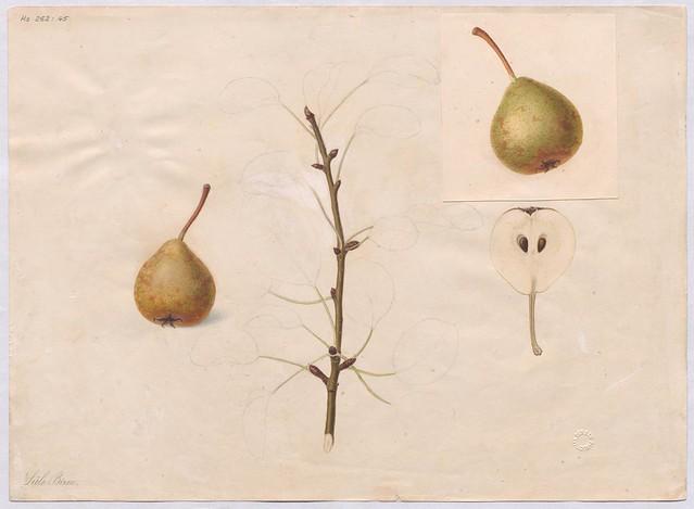 Birnensorte Sülibirne