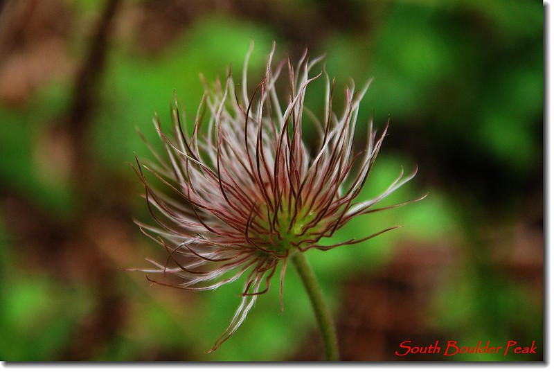 Pasque Flower Seed Heads 2