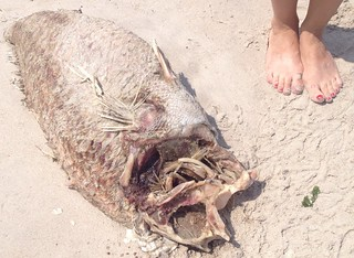 big dead monster fish at Fort Tilden