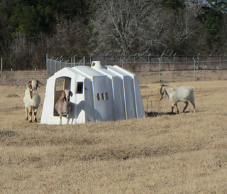 Picture of goats going into a calf hutch to find shade from the heat.